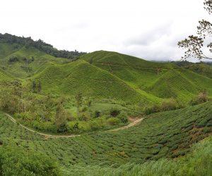 Malaysia - Cameron Highlands - Sehenswürdigkeiten - BOH Teeplantage