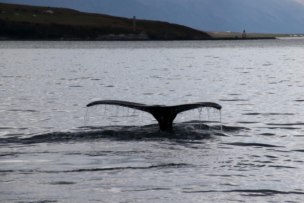 Island - Der Norden - Laufas Wal